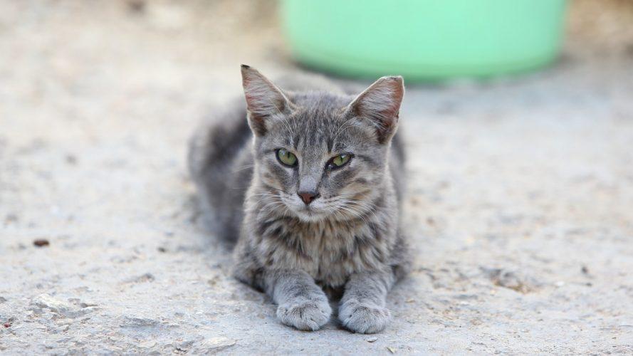 תמונת חתול: גריי